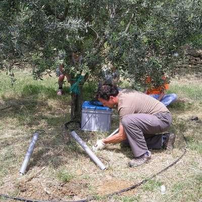 Pred devetimi leti so v enem od nasadov  Hlajevega  oljčnika na  območju nad Lamo uvedli poskusno namakanje.