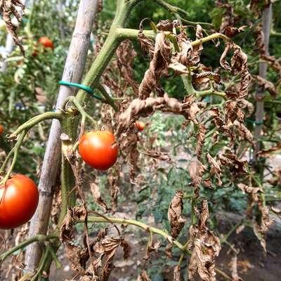 Suša se pozna predvsem pri paradižnikih.  Foto: Tomaž Primožič/FPA