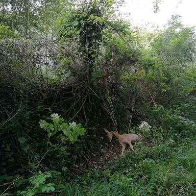 Koprski lovci so pred dnevi med Staro Semedelo in Olmom v zanki  našli poginulo srno.  Foto: FB Lovska zveza Koper