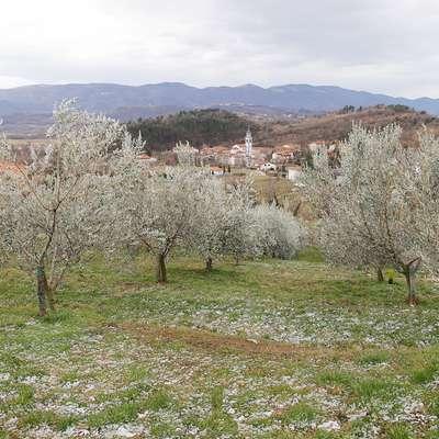 Burja v oljčniku v Vrtovinu obrača oljčne veje, da je videti, kot da  so tudi drevesa zasnežena  Foto: Leo Caharija
