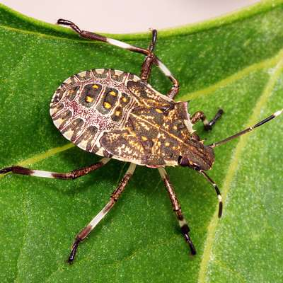 Droben škodljivec povzroča veliko škodo v kmetijstvu. Foto: Yerpo/Wikipedia