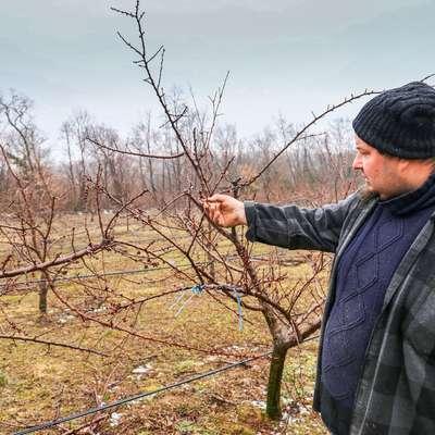 Šele ko bodo pognali plodovi, bo mogoče natančneje oceniti  škodo pozebe v sadovnjakih. Foto: Leo Caharija
