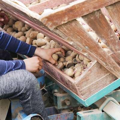 Zgodnji krompir so pridelovalci običajno  sadili že v začetku marca,  letos pa se je to opravilo zamaknilo za dober mesec.  Foto: Leo Caharija
