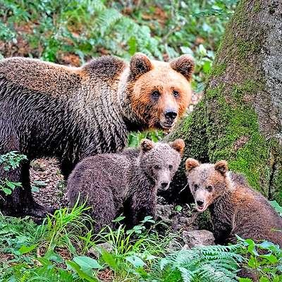 """Kjer se ob odraslih medvedih pojavljajo tudi medvedji mladiči, so medvedi """"doma"""".  Slovenija je po raziskavi biotehniške fakultete dom 564 medvedom. Čeprav se je število medvedov povečalo za tretjino, lovci niso zabeležili napadov na človeka.   Foto: Marko Masterl"""