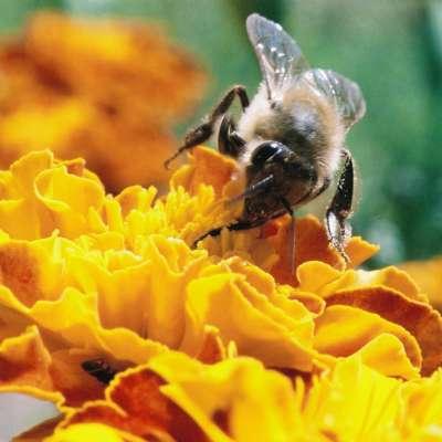 Čebele so najpomembnejši naravni opraševalec, brez njih bi izumrlo 80 odstotkov rastlin in z njimi pridelava hrane.  Foto: arhiv PN