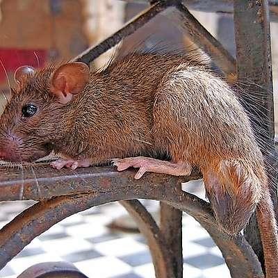 Shrambe moramo zaščititi pred glodalci. ki jeseni iščejo  zavetje.    Foto: /